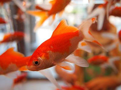 les poissons rouges en aquarium groupe v t rinaire saint and ol. Black Bedroom Furniture Sets. Home Design Ideas